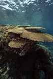Table coral and ocean Royalty Free Stock Image