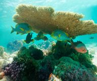 Table Coral and oriental sweetlips Royalty Free Stock Photos