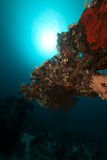 Table coral in the Red Sea. Stock Photo