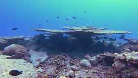 Table Corals In The Maldives. Traveling Underwater Shot Of Endangered, Suffering Table Corals At An Atoll In The Maldives stock video