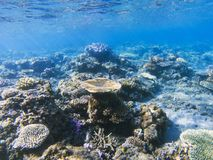 Table corals panorama. Exotic island shore shallow water. Tropical seashore landscape underwater photo. Coral reef animal. Sea nature. Sea fish in coral Royalty Free Stock Photos