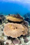 Table corals on a shallow reef Stock Photos