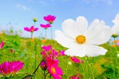 Table en bois avec la fleur rose de cosmea sous la lumière du soleil et le ciel bleu Images libres de droits