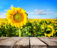 Table and field of sunflowers Stock Photography