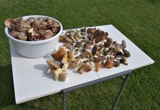 Table full of mushrooms in our forests. Royalty Free Stock Photography
