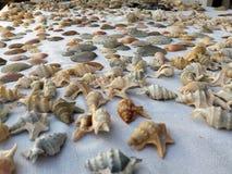 I love seashells. A table full spread of seashells, different kind of shells from Aporrhais pespelecani, Bonius brandaris, Hexaplex tranculus, Arca noae, Pecten Stock Photos