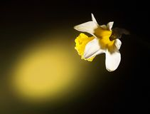 Table lamp. Luminous yellow narcissus is this desk lamp Stock Image