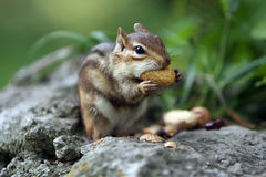 Table Manners. Chipmunk stuffing a peanut in her mouth Royalty Free Stock Photos