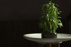 Table with potted bamboo plant in darknes stock images