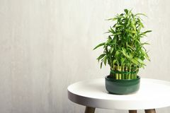 Table with potted bamboo plant near color wall. Space for text royalty free stock photos