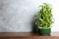 Table with potted bamboo plant near color wall. Space for text royalty free stock image