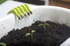 On the table is a seedling in containers. On the pot hung a rake for tillage. On the table is a seedling in containers. On the pot hung a rake for tillage Royalty Free Stock Photo