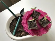 On the table is a seedling in peat containers. Also, a pot of soil to which transplants need to be transplanted, and tools for til. Lage Royalty Free Stock Photo
