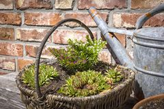 On a table stands a basket with plants Stock Photo