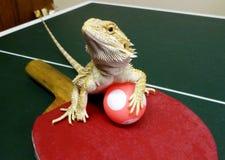 Table Tennis anyone?. Bearded Dragon ready to play Table Tennis Stock Photo