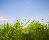 Table-tennis ball hidden in grass Stock Photography