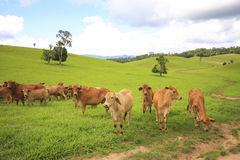 Tableland cattle Royalty Free Stock Images