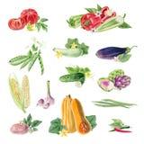 Tablero de los cliparts vegetales orgánicos de la acuarela pintada a mano libre illustration