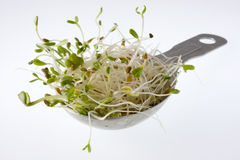 Tablespoon of spicy alfalfa and radish sprouts. Spicy alfalfa and radish sprouts on a measuring tablespoon, white background Stock Image