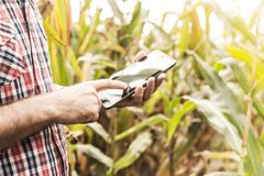 Tablet in farmer`s hands, corn field as background. Tablet in farmer`s hands in front of corn field. Modern technology in agriculture - concept. Country outdoor Royalty Free Stock Images