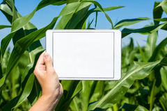 Tablet held by hand in corn field Royalty Free Stock Photos