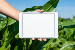 Tablet held by hand in corn field Stock Images