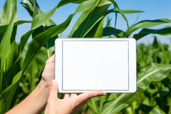 Tablet held by hands in corn field Royalty Free Stock Photos
