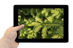 Tablet PC a disposición con los lanzamientos jovenes del fondo macro del árbol de pino en la pantalla aislada Foto de archivo libre de regalías