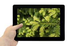 Tablet PC in hand with young shoots of pine tree macro background on screen isolated Royalty Free Stock Photo