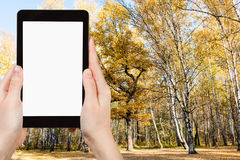 Tablet pc and yellow tree in autumn forest Royalty Free Stock Photos