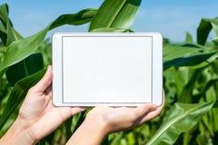 Tableta sostenida por las manos en campo de maíz Fotografía de archivo libre de regalías