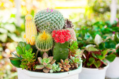Tabletop cactus garden. Various Cactus plants  in a pot close-up Stock Photography