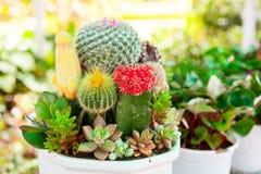 Tabletop cactus garden Stock Photography