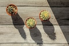Tabletop view, three small cactus pots on gray wood desk, morning sun casting long shadows. royalty free stock photo