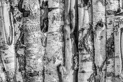 Tablones y luz del sol de la madera del abedul Foto de archivo