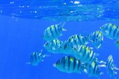 Tabunowa Sargeant ważna poniższa błękitne wody Obraz Stock
