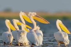 Tabunowego ow biali pelikany odpoczywają na wodzie Zdjęcia Stock