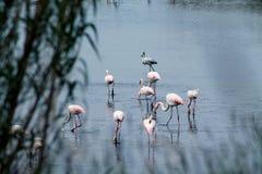 Tabunowi flamingi Zdjęcie Stock
