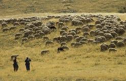 tabunowi owce obraz royalty free