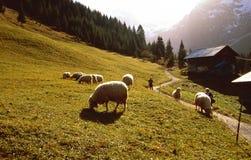 tabunowi owce Zdjęcia Royalty Free