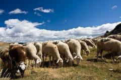 tabunowi owce Obrazy Royalty Free