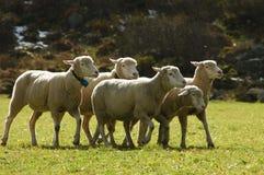 tabunowi owce Zdjęcie Royalty Free