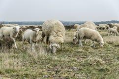 tabunowi pastwiskowi cakle Zdjęcie Royalty Free