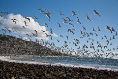 tabunowi seagulls Obraz Stock