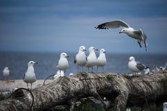 tabunowi seagulls Zdjęcia Stock