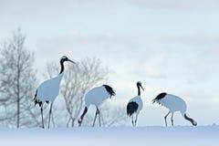 Tabunowy ptaków tanczyć Latający Biali ptaki Koronujący żurawie, Grus japonensis z otwartym skrzydłem, niebieskie niebo z bielem  obrazy stock