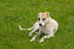 Taca szczeniak odpoczywa w wiosny trawie Zdjęcia Stock