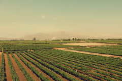 Tacama-Weinkellerei, Ica, Peru Lizenzfreie Stockfotografie