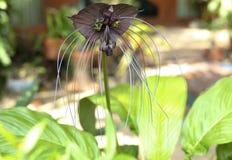 Tacca chantieri var macrantha, black bat flower Stock Photo