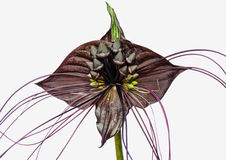 Tacca chantrieri Bat flower Stock Photos